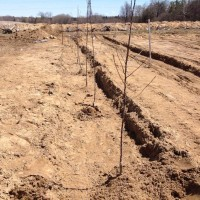 Pre-Planted Apple Tree