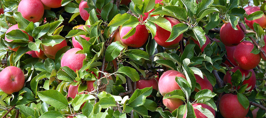 Sponsor An Apple Tree